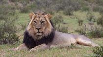Afrikanischer Löwe mit prächtiger Mähne