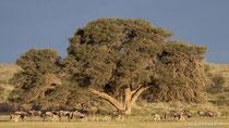 Gnuherde vor altem Kameldornbaum im Trockenflussbett