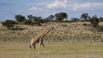Giraffe im Trockenflussbett