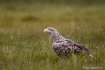Seeadler adult