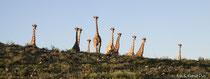 Giraffen beäugen vorsichtig die Umgebung