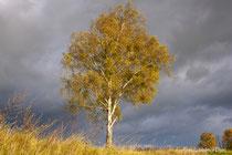 Birke mit goldgelben Blättern vor dunklen Wolken