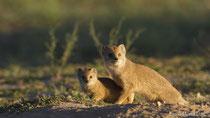 Fuchsmanguste, Weibchen mit Jungtier
