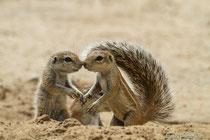 Erdhörnchen mit Jungtier vor Bau