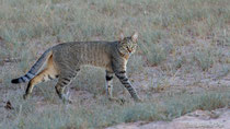 Afrikanische Wildkatze