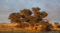 Alter Kameldornbaum im roten Licht der untergehenden Sonne