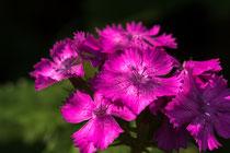Kartäusernelke, Steinnelke, (Dianthus carthusianorum)