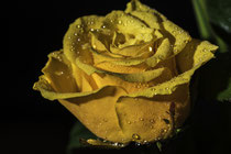Gelbe Rose mit Wassertropfen.