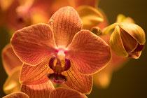 Orchidee bestehend aus 20 Fotos, (Focus Stacking)