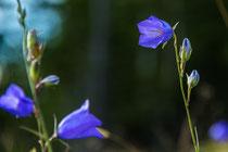 Glockenblumen auf dem Zetz (Berg)