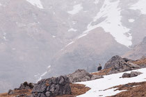 chamois (Haute Savoie)