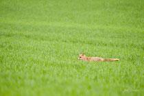 renard dans les blés (Yonne)