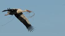 Cigogne blanche © E. LAUCHER