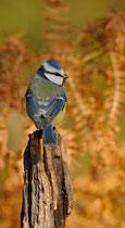 Mésange bleue © E.LAUCHER