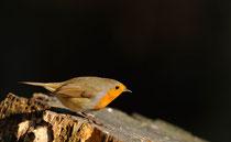 """""""Red Robin """" © E. LAUCHER"""