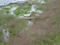Die Quellgrasflur wird im Mai meist rasch vom steigenden Bodenseewasser überschwemmt.