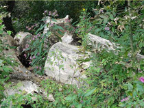 Pappel-Altholz: Lebensraum für holzzersetzende Pilze, Schlingnatter und Zauneidechse.