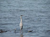 Fischender Graureiher der Graureiherkolonie im Eriskircher Ried gegenüber vom Schwedi