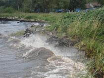 Schilfbestand wird durch Wellenschlag und Treibholz dezimiert.