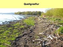 Quellgras ist eine typische Pflanzen der Rheinaue und auch des Bodensee-Ufers