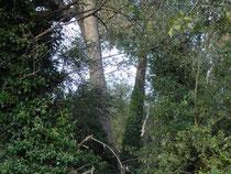 Blick in den älteren Seehag mit Schwarzpappeln, Hybrid-Pappeln, Eichen und Birken.