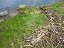 Spülsaum: Schwemmholz wird auf den Strand geworfen und bildet die Grundlage eines Strandwalls.
