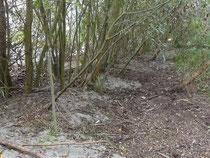 Das Weidengebüsch fängt den angeschwemmten Sand, so dass sich der Strandwall erhöht.