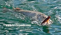 Der 111cm Freiwasserhecht greift sich den Castaic swim bait, Hechtfischen am Attersee