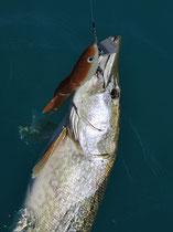 Meterhecht mit 28cm Swimbait (Laube siehe Onlineshop) gefangen