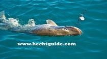 """110cm Hecht schnappt sich die """"Renke"""" (35cm Gummifisch) beim Schleppfischen am Attersee"""