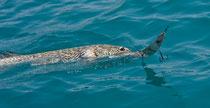 90iger Hecht im Drill, gefangen mit Perlmuttspange (20cm) beim Schleppfischen am Attersee