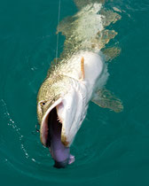 115cm Hecht nimmt castaic swim bait beim Schleppfischen am Attersee, Hechtfischen am Attersee