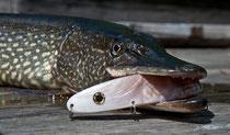 90er Hecht gefangen beim Schleppfischen am Weissensee mit einer Perlmuttspange