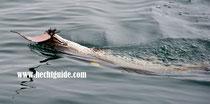 Meterhecht greift sich eine riesige Perlmuttspange (230mm Länge) beim Schleppfischen am Attersee