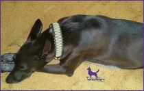Kangu mit King Kobra Halsband (4 cm) in Gold mit Charcoal Grey und Black