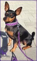 Diego mit King Kobra Halsband in Bright Purple mit Neon Green und Charcoal Grey