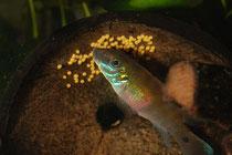 Pelvicachromis signatus W. Gelege pflegend