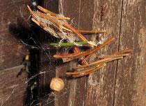 Wohngespinnst und Kokon von Parasteatoda lunata