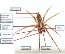 Bauplan einer Spinne
