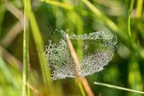 Baldachinspinne in ihrem Netz
