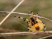Vierpunktkreuzspinne - Spinnfaden tritt aus Spinnwarze aus.