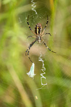 Wespenspinne mit eingesponnener Beute (Zikade) in ihrem Netz