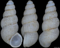 Thamkhondonia vacquiei (Laos, 2,6mm) (paratype) F++ €24.00 (specimens for sale are 2,5-2,6mm and are of the same quality as the specimen illustrated)