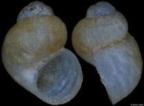Radomaniola bosniaca (Bosnia-Herzegovina, 1,7mm) F+/F++ €8.00 (specimens for sale are 1,4-1,7mm and are of the same quality as the specimen illustrated)