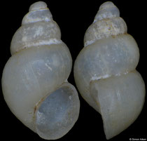 Travunijana vruljakensis (Bosnia-Herzegovina, 2,6mm) (paratype) F++ €15.00 (specimens for sale are 2,4-2,6mm and are of the same quality as the specimen illustrated)