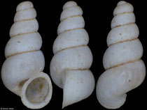 Paladilhiopsis szarowskae (Albania, 1,7mm) (paratype) F++ €18.00 (specimens for sale are 1,7-1,8mm and are of the same quality as the specimen illustrated)