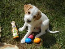 Elmo hat den Osterhasen gefunden, 10 Wochen alt