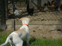 Elli erkundet die Hühner