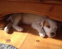 Enzo, 7 Wochen alt