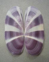 siliqua radiata, 6 cm